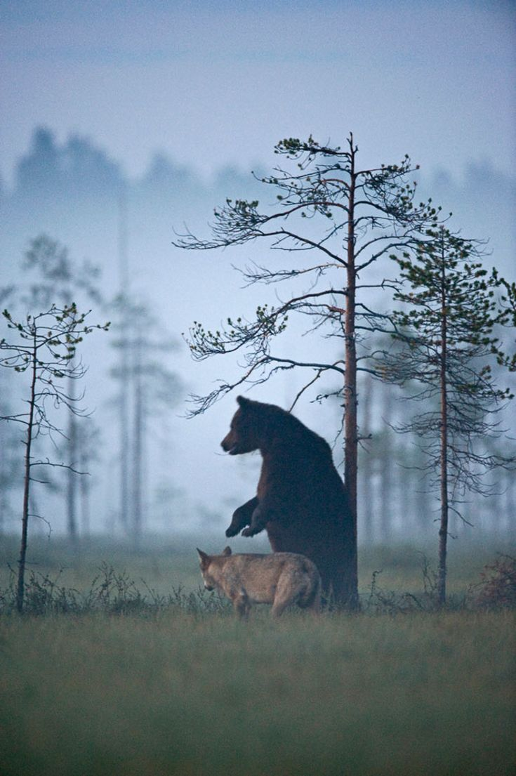 So there's a bear and a wolf who have become best friends in the wild and it's unbelievably majestic | Indie88