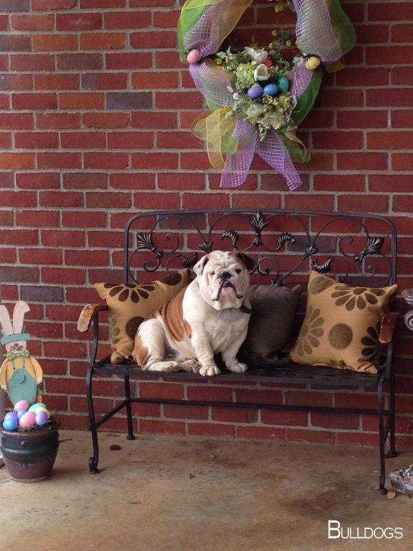 Bulldog Pup Bulldogsrule Bulldogsarebeautiful Bul Blue