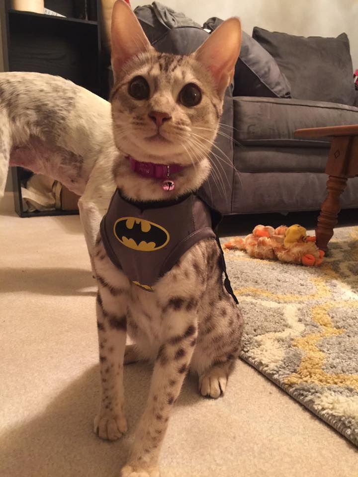 Happy Halloween from #PetplanProtected Jensen the Bat-Cat!