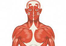 Sistema muscular – Que es, tipos de musculo, estructura, vascularización e inervación
