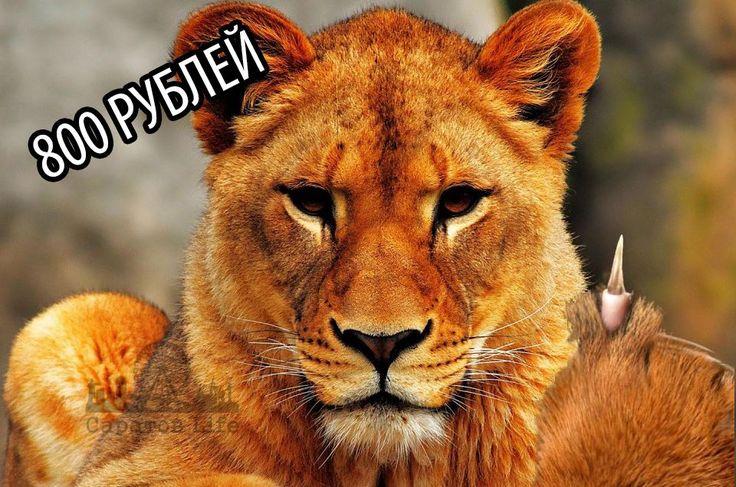 Владельцев львицы, напавшей на подростка в Энгельсе, оштрафовали на 800 рублей Подробнее http://www.nversia.ru/news/view/id/104981 #Саратов #СаратовLife