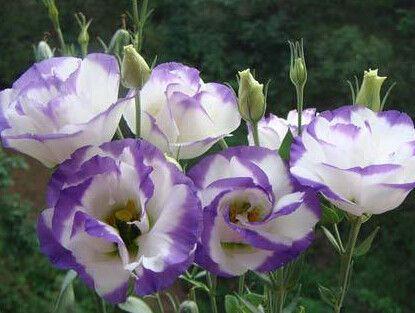 40 Colors Rare eustoma seeds Flower Seeds 40pc Bonsai Seeds for Home & Garden