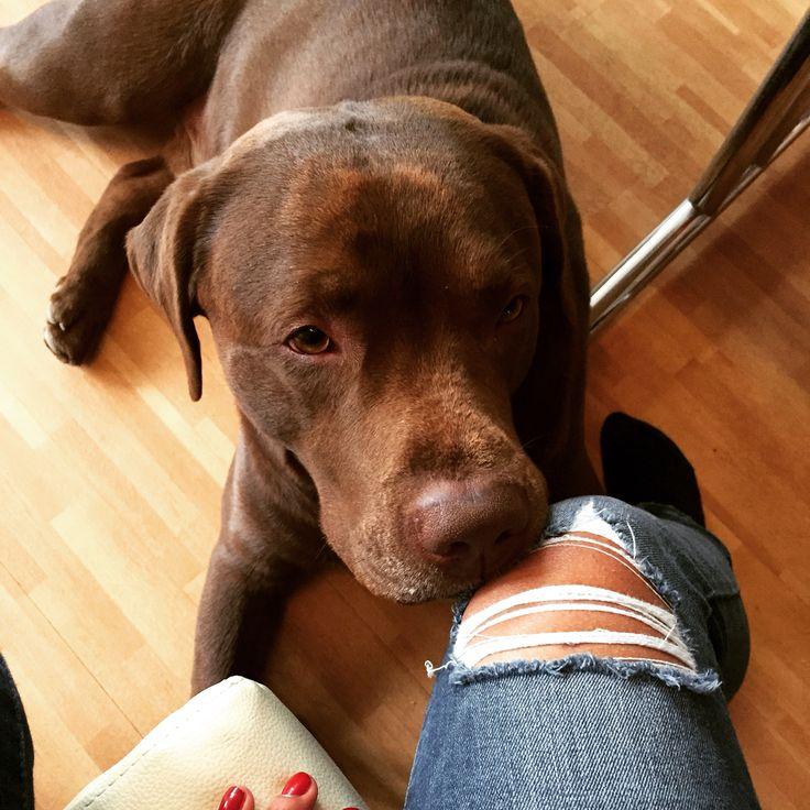 Mein Baby ❤️ / Labrador/ Braun/ wunderschön