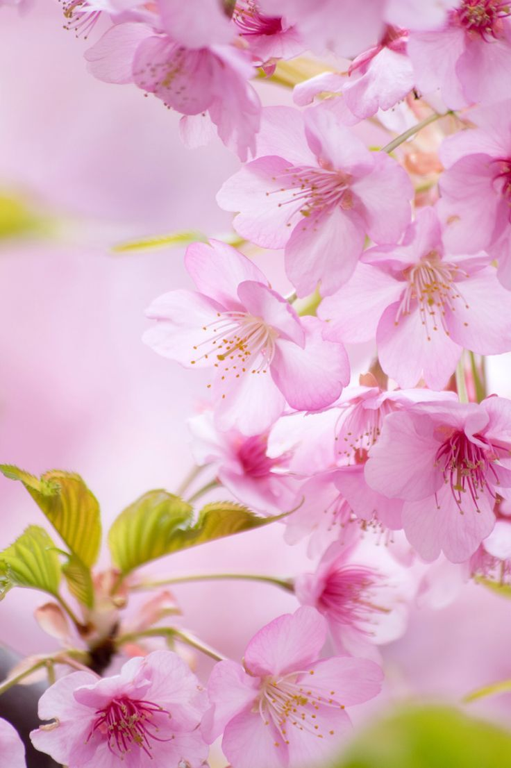 ~~Cherry Blossoms Season by peaceful-jp-scenery~~