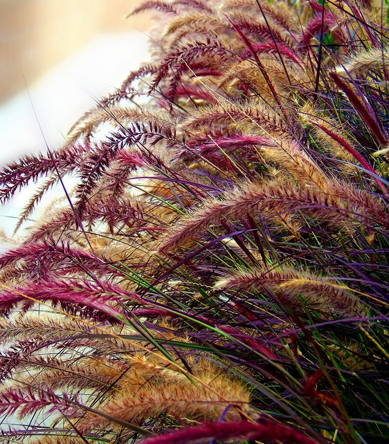 red fountain grass - magenta, gold, green