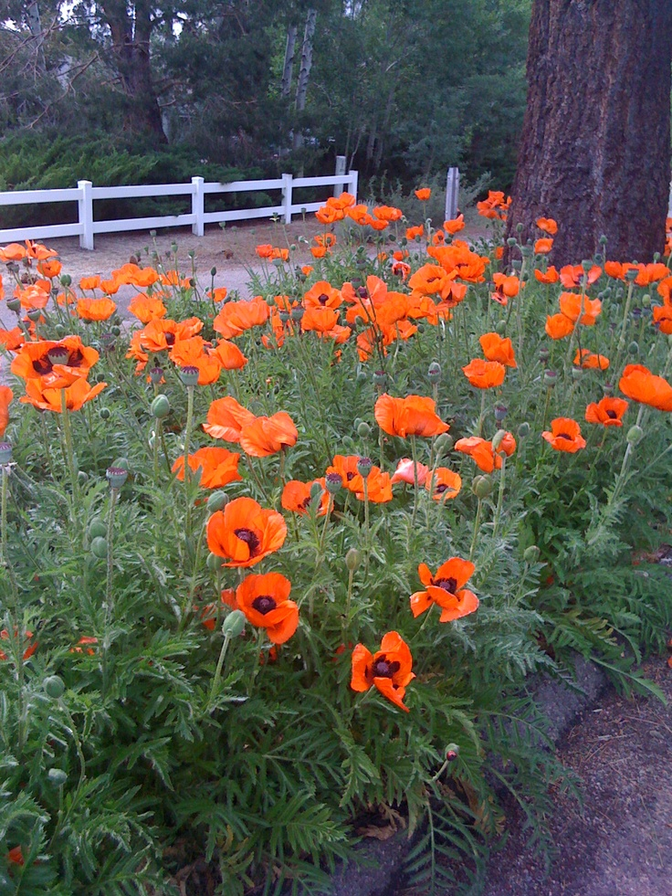 112 best poppies images on Pinterest | Poppies, Red poppies and Art