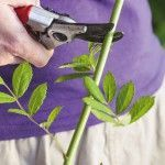 Découvrez comment bouturer vos rosiers pour assurer leurs reprises.