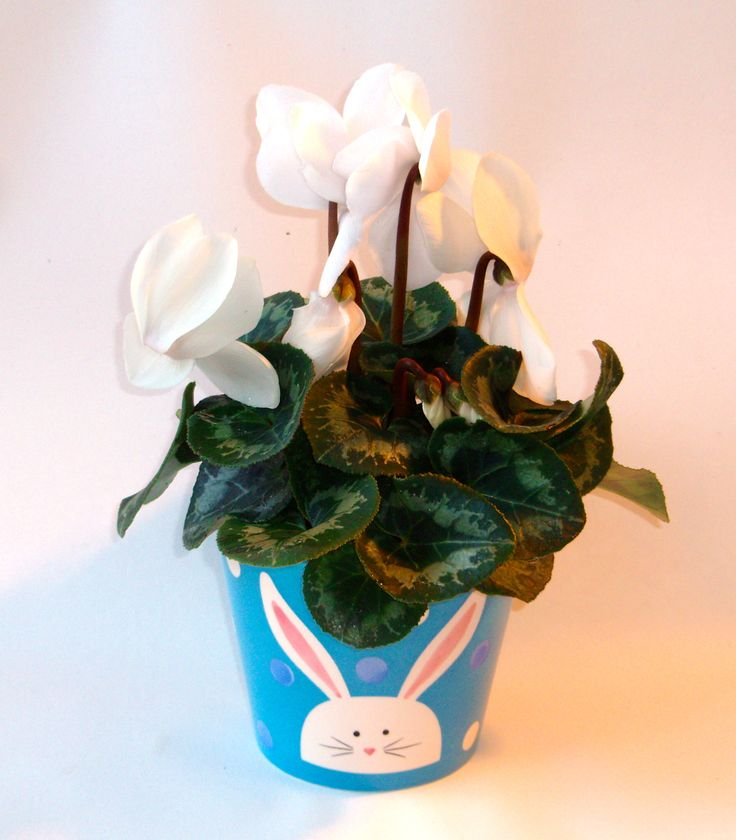 Easter Ceramic Pot with cute bunny design in lovely shade of blue with flowering cyclamen plant available here www.summerhillnurseries.com.au