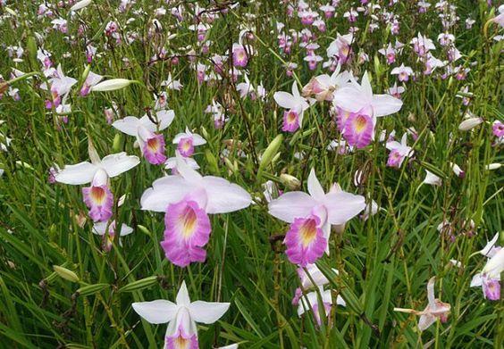 As formas de cultivo e de apresentação são características marcantes e peculiares que distinguem a bela orquídea-bambu (Arundina graminifolia ou Arundina bambusifolia) das outras espécies pertencentes à família Orchidaceae. Única representante do gênero Arundina