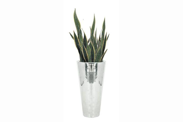 1000 id es sur le th me sansevieria trifasciata sur pinterest plantes grasses plantes et cactus - Plante langue de belle mere ...