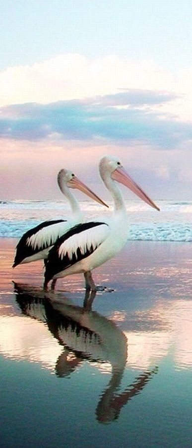 "* Pelicans: ""A wonderful bird is the pelican. His beak can hold more than his belly can, but I don't see how in the hell he can."" Poem by Ogden Nash"