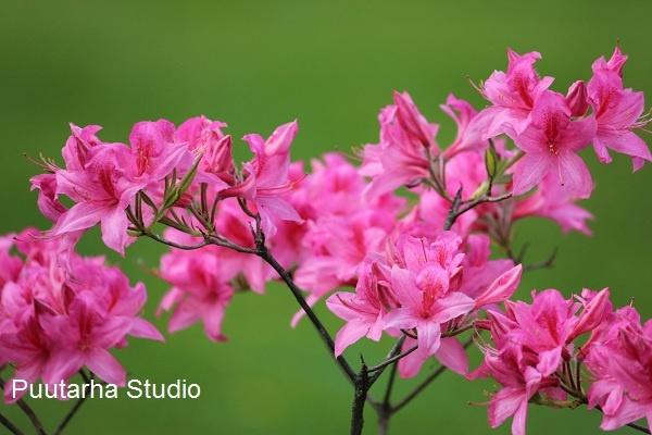 Pinkin keijumaiselta näyttävä revontuliatsalea lajitovereidensa tapaan kukkii ennen lehtimistä.Se kasvaa noin 1-1,5 metrin korkuiseksi aurinkoisella tai puolivarjoisalla paikalla. Atsaleoiden kasvupaikkavaatimuksia voi verrata alppiruusujen vastaaviin maaperän suhteen.