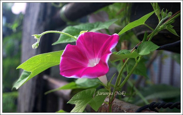 Morning Glory ดอกมอร น งกลอร Flowers Plants Rose