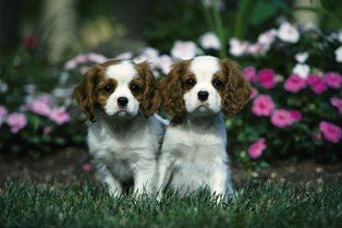Cavalier King Charles Spaniel #dog #nylabone