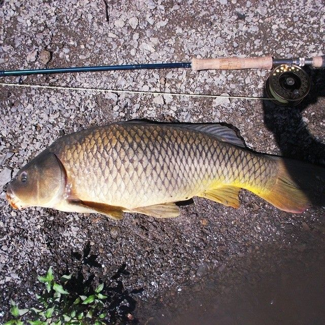 Big boy from today. #flyfishing #carponthefly #capdistrictflyfishers #carp @reelkeeperfishing