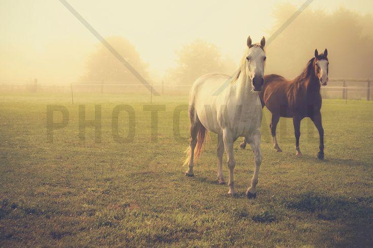 Quarter Horses in Morning Fog - Fototapeter & Tapeter - Photowall