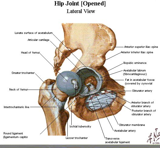 17 Best images about Anatomy of Hip on Pinterest | Physical ...