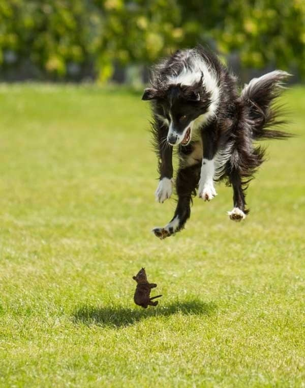 A Border Collie comes face to face with what looks to be a mouse, and they experience mutual fear.