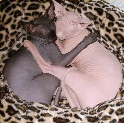 yin/yang sphynx cats