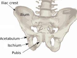 See ischium Pelvis diagram.png