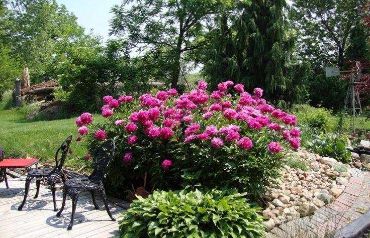 Bazsarózsa a tavasz kedvence, így ültesd el és így gondozd, hogy sok virágja legyen!