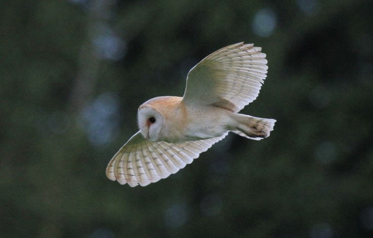 Norfolk Wildlife Trust - Gallery. Barn Owl at Swafield on 16/06/2012. Contributed by: Julian Thomas.