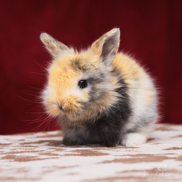 Fluffy bunny | Friendly Animals | Pinterest