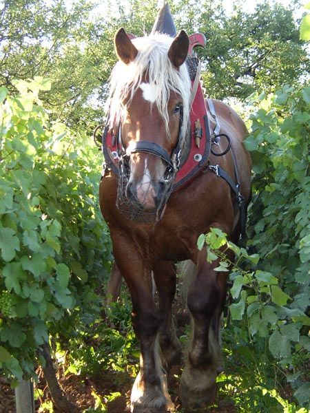 Draft horse wearing a muzzle while on the job, comtoislabour-vigne-600-x-450