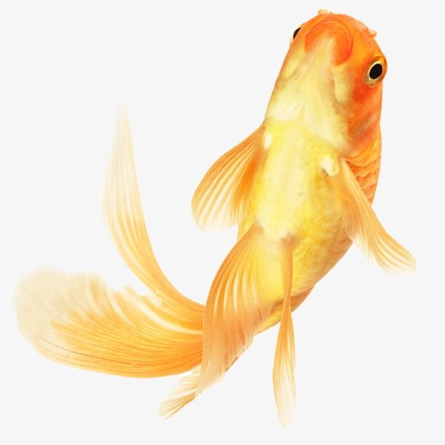 Goldfish Goldfish Clipart Benthos Png Transparent Clipart Image And Psd File For Free Download Goldfish Golden Fish Clip Art