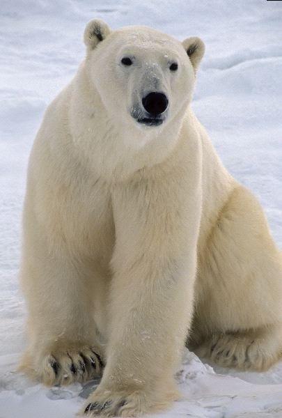 7 best anatomy polar bear images on pinterest beautiful animal polar bear anatomy information sciox Choice Image