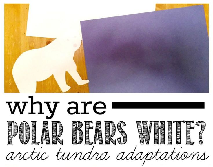The Arctic tundra is fascinating to kids & so are its animals. Immerse your kids in a unit studay about polar bears & their adaptations, enjoying some art.