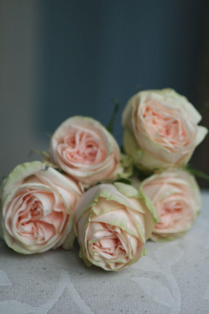 12 best rose and spray rose varieties images on pinterest rose varieties sprays and spray roses - Rose cultivars garden ...
