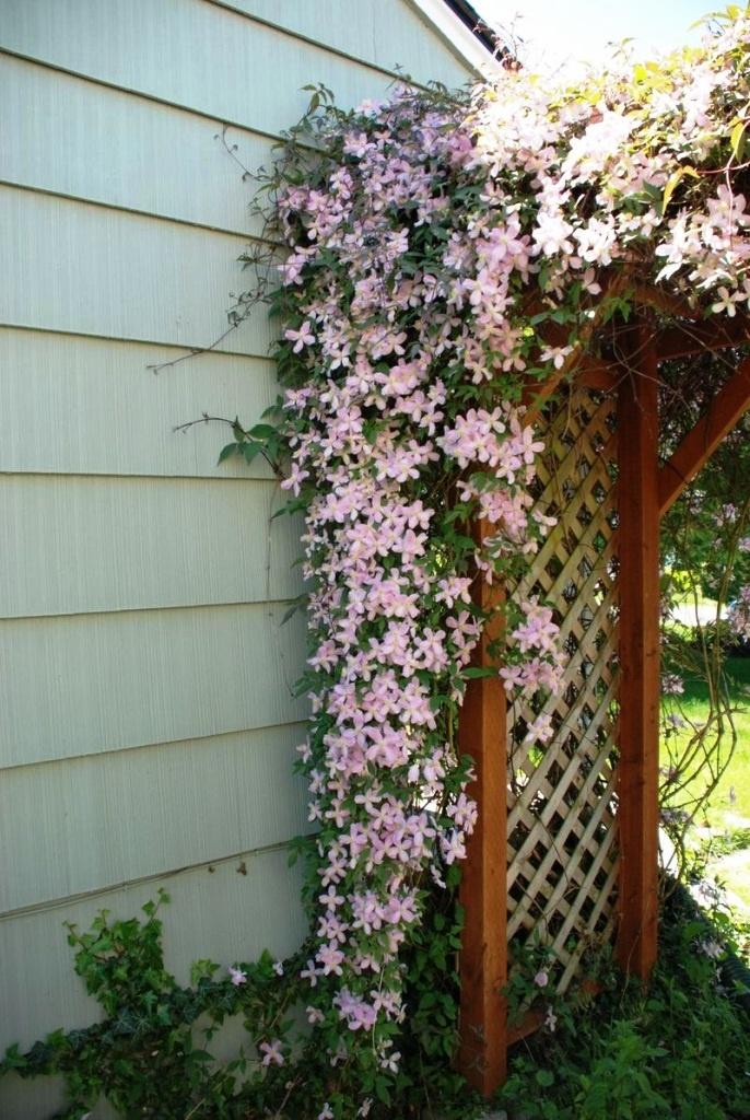 climbing clematis 39 pink fantasy 39 summer flowering. Black Bedroom Furniture Sets. Home Design Ideas