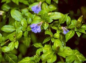 Sclerochiton harveyanus foliage and flowers