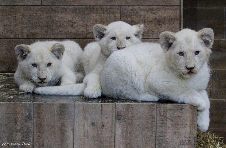 https://flic.kr/p/226VxzX | Lionceaux blancs | ZOO AMNEVILLE