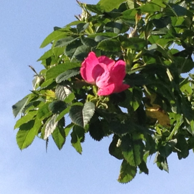 First summer rose.  Langeland, Denmark.