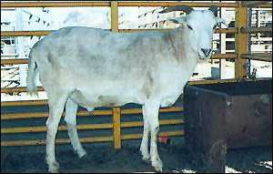 """called the """"toast of Botswana"""" female goat with a male sheep, born from a natural mating"""