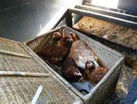 Høns leverer ikke kun æg - de kan også tage sig af en del af affaldet i stedet for, at det skal brændes på Genbrugsstationen.