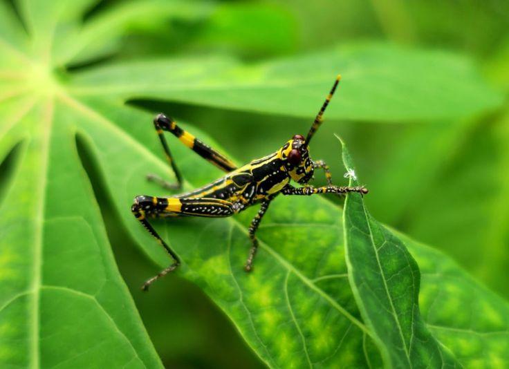 Harlekinschrecke Nymphe, Zonocerus variegatus - Elfenbeinküste