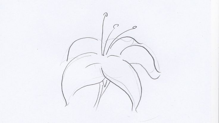 How To Draw A Lily Flower Stuff Pinterest