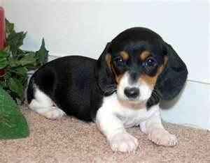 Image detail for -Dachshund Puppies For Sale | Miniature Dachshund | Teacup Dachshund ...