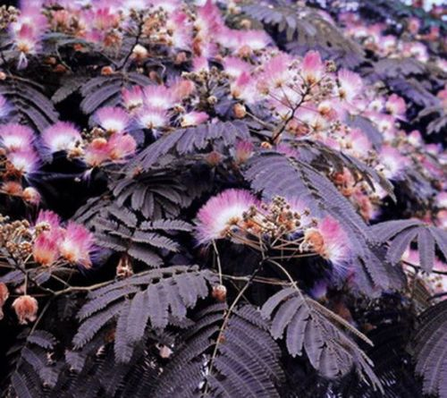 Different view: Summer-Chocolate-Mimosa-Tree-1-15-22-Albizia-julibrissin-Chocolate-Silk-Tree