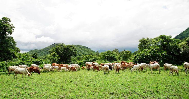 Remédios caseiros para vermes pulmonares em bovinos. O gado pode contrair vermes pulmonares através da ingestão de capim contaminado por larvas parasitas. Elas podem causar sintomas de doenças pulmonares em bovinos, incluindo respiração ofegante, tosse rouca e perda de peso. Os fazendeiros que são contra o uso de tratamentos farmacêuticos para vermes podem facilmente produzir remédios orgânicos ...