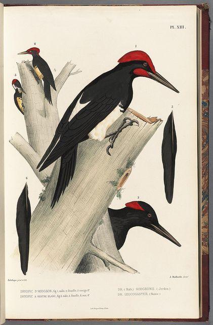 Woodpeckers, Monographie des picidées, ou Histoire naturelle des picidés, picumninés, yuncinés ou torcols, Metz,Typ. de J. Verronnais,1861-62.