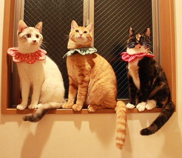 maihimemoco 新春のチーム0歳児✨🎍 去年お外で産まれたこの子達は無事にぬくぬく新年を迎えました🌅朝から3人で家中鬼ごっこしてたよ💨 * *  今日はみんなで本マグロを食べたの🍣 すーさんが超喜んでくれた😭すーさんが幸せな顔を見せてくれると、私は涙が出ちゃいます❤️ * * 『可愛すぎて、ずっと眺めていたいの、あたち』 * * #シャム三毛みなみ #トラ猫みやび #預かりねねちゃん  #ザビエラー  2018/01/01 21:54:49
