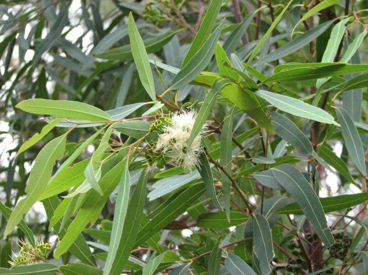 Eucalyptus curtisii