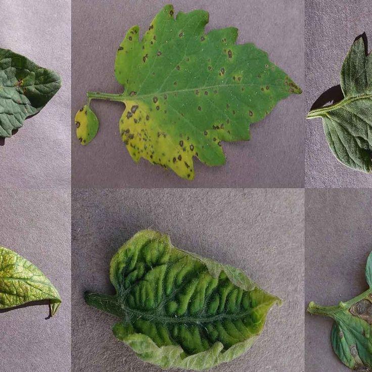 Un investigador de Suiza y otro de Estados Unidos han puesto a disposición del público su archivo de 50.000 imágenes de plantas sanas y enfermas, para que