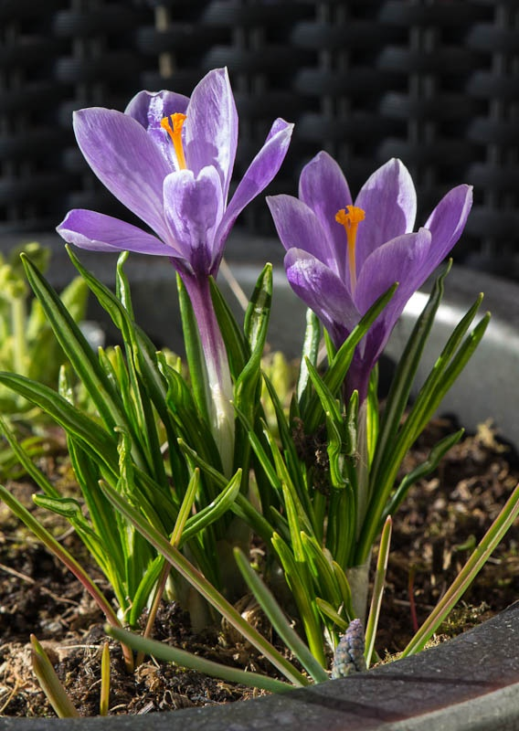Finally spring is coming to our balcony. (photo by Gunn-Rita Mosheim)