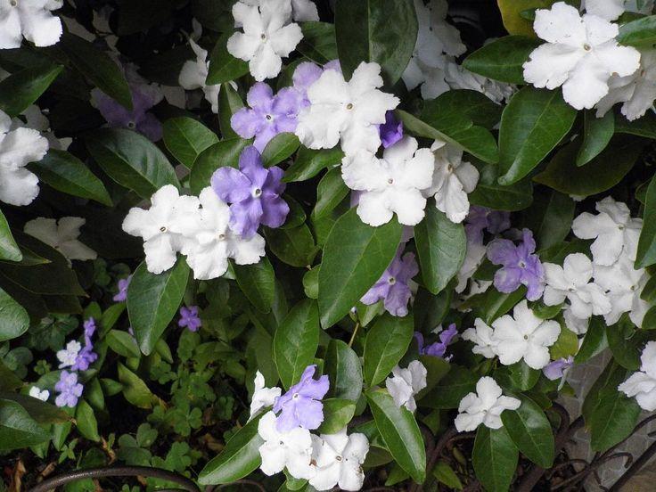 匂蕃茉莉 ニオイバンマツリ ブルンフェルシア Yesterday-Today -Tomorrow Brunfelsia Latifolia 中央アメリカ 南アメリカ 西インド諸島に約40種分布 日本には明治時代の終わりに入って来た 匂蕃茉莉とはジャスミンの香りがする外国から入って来た花の意味だがジャスミンとは別物 この花は咲き始めが紫色で淡い紫色から白に変わるというから驚き てっきり白から紫と思っていた 甘い香りが夜になると強くなるそうだ 花の色が変化するのは紫外線 アントシアニン 色素の劣化とか考えられるそう 虫に授粉に適した時期の花を知らせるためではに納得 昼と夜の香りの強さを比較しに行くには勇気が必要だわ #flower#flowers#flowerslove#flowerslove#flowerslovers #ニオイバンマツリ#ブルンフェルシア#匂蕃茉莉#brunfelsia#latifolia http://gelinshop.com/ipost/1517142983013582295/?code=BUN-YFAAEXX