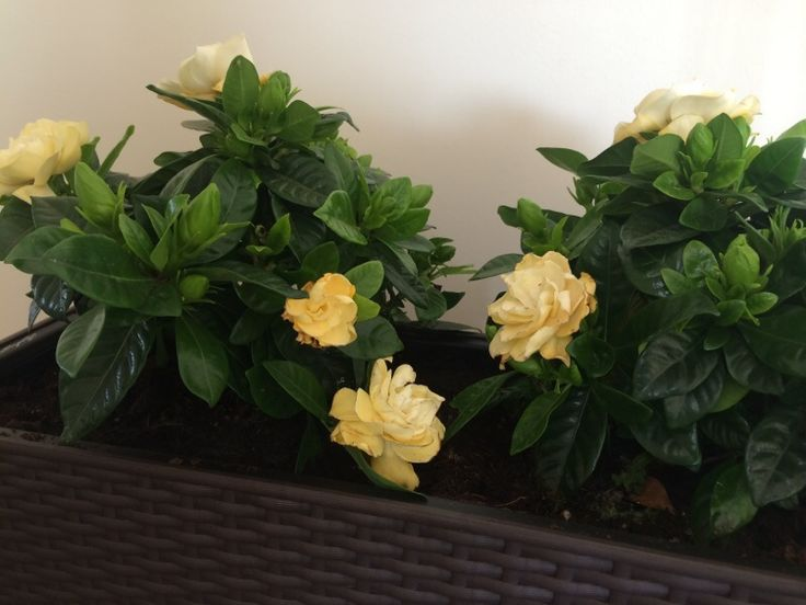 Nice Gardenia Problem Your gardenia may have several problems It does best in well